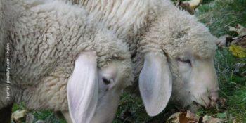 bárányok klónozás
