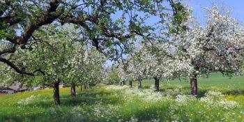 cseresznye-spring-335915_640