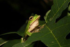 smaragdzöld szemű-tree-frog-1233571_640