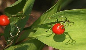 gyöngyvirág-termése-pixabay.com-lily-of-the-valley-439213_640