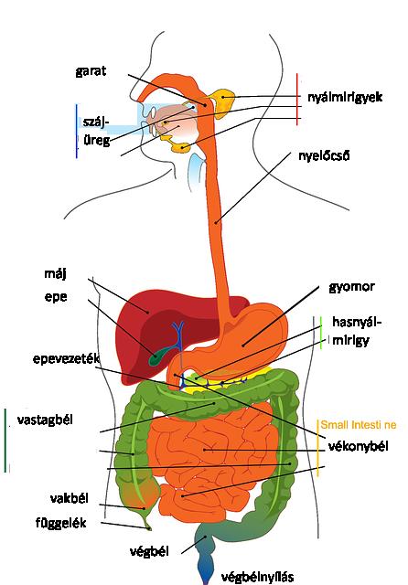 hasüreg-digestive