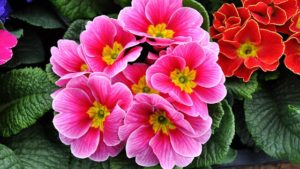 Kanklin-Primrose-1228936_640