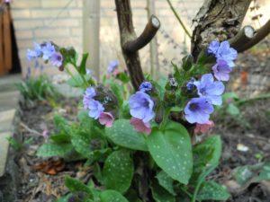 orvosi tüdőfű-flowers-217362_640